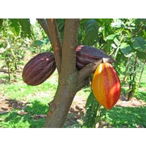 beurre cacao.png