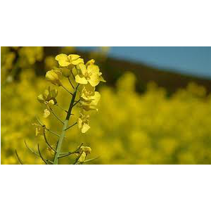 huile canola.png